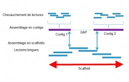 Fig1 : Reconstitution d'un génome de novo