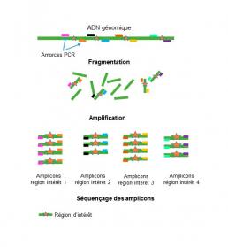 Fig1 : Séquençage après amplification PCR de fragments d'ADN d'intérêt