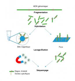 Fig2 : Séquençage après enrichissement de fragments d'ADN d'intérêt