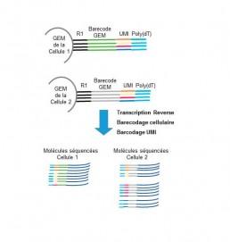 Fig2. Barecodage cellulaire et moléculaire (UMI) des ARN polyA et comptage des molécules cDNA séquencées.