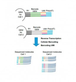 Fig2. Cellular and molecular barcoding (UMI) of polyA RNAs and counting of cDNA sequenced molecules